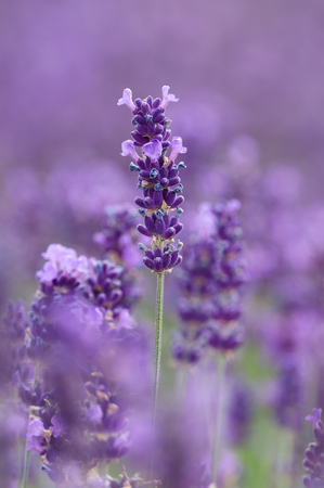 plants species: Lavandula (common name lavender) is a genus of 39 known species of flowering plants in the mint family, Lamiaceae.