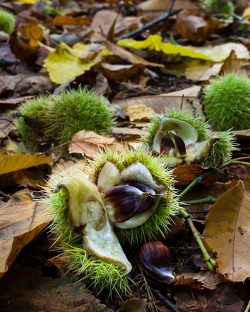 Castanea sativa, or sweet chestnut, is a species of flowering plant in the family Fagaceae, native to Europe and Asia Minor, and widely cultivated throughout the temperate world. A substantial, long-lived deciduous tree, it produces an edible seed, the chestnut, which has been used in cooking since ancient times. Stock Photo