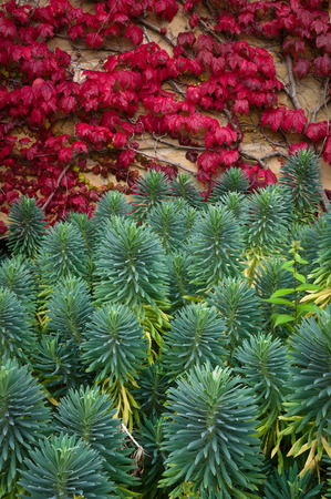 Chamaesyce is a former genus of plants, all of which have now been reclassified as species of Euphorbia -  Parthenocissus quinquefolia, known as Virginia creeper, Victoria creeper, five-leaved ivy, or five-finger, is a species of flowering plant in the grape family, Vitaceae