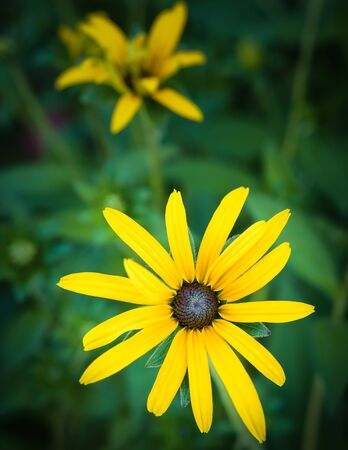Rudbeckia is a plant genus in the Asteraceae or composite family. Rudbeckia flowers feature a prominent, raised central disc in black, brown shades of green, and in-between tones