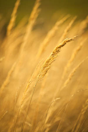winter wheat: Closeup of yellow autumn grass in sunset after dry summer