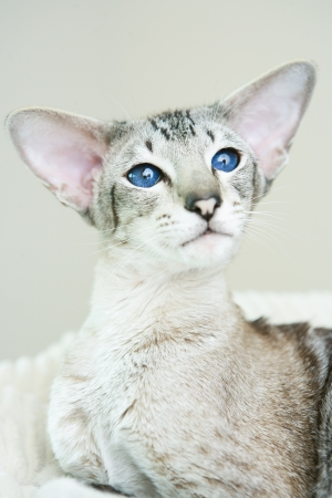 adorable siamese cat kitten with blue eyes Stock Photo