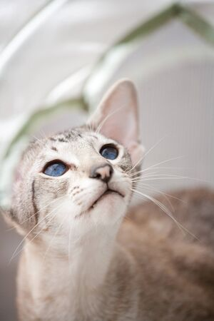 blue siamese cat: adorable siamese cat kitten with blue eyes Stock Photo