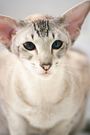 adorable siamese cat kitten with blue eyes Standard-Bild