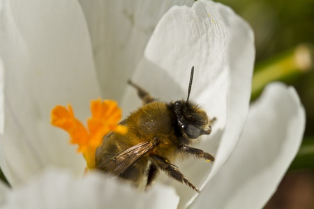 Bumblebee in Crocus Flower photo