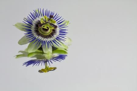 passiflora: Passiflora Flower on Mirror