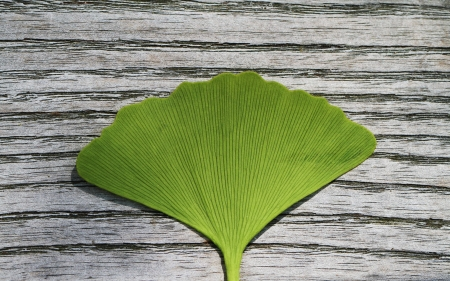 Gingko Biloba leaf on Wood photo