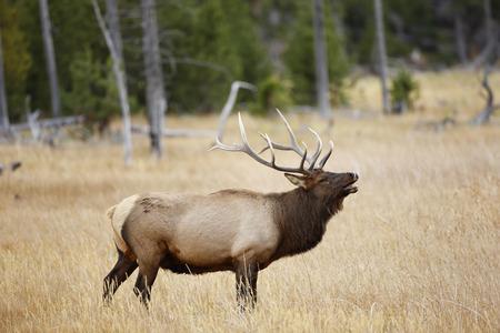옐로 스톤 국립 공원에서 벌레를 몰고 다니는 엘크