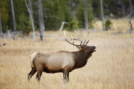 An elk bugleing in Yellowstone National Park