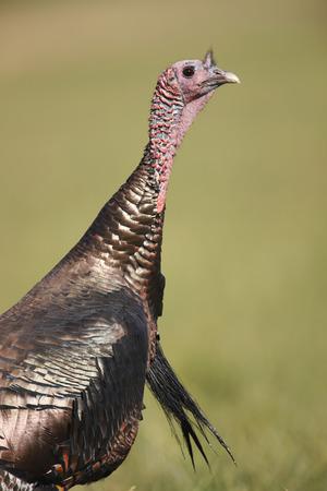 tom turkey: A wild turkey