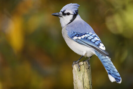 A perched Blue Jay