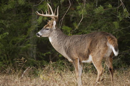 white tail deer: A white-tailed deer buck with large antlers Stock Photo