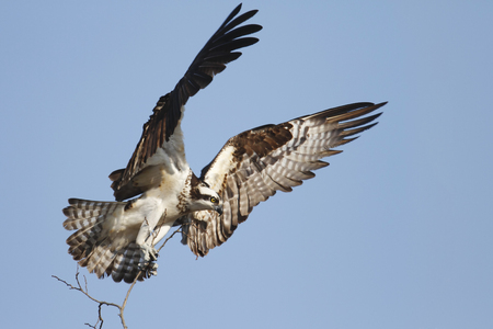 building material: An osprey with nest building material Stock Photo