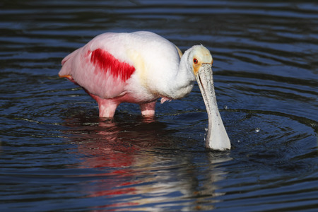 wading: Roseate Spoonbill wading in water