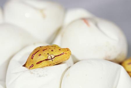 녹색 나무 파이썬의 계란 부 화입니다. 스톡 콘텐츠