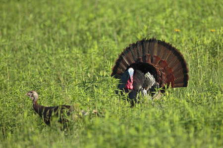 turkey feather: A strutting male wild turkey with a hen in the foreground. Stock Photo