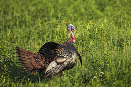A male wild turkey with a long beard and tail partially fanned.
