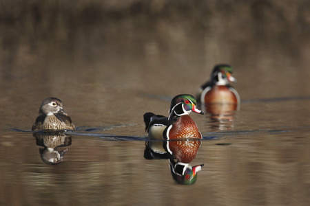 gamebird: Two drake and one hen wood ducks
