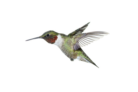 A male ruby-throated hummingbird on white