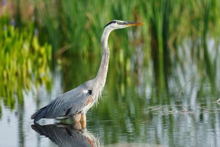 wading: Great Blue Heron wading in the water