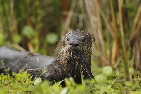 greater: river otter with a Greater Siren.