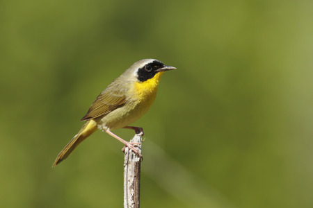 warbler: A perched common yellowthroat warbler.