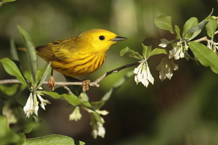 warbler: A perched yellow warbler Stock Photo