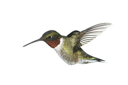 hummingbird: A male ruby-throated hummingbird on white. Stock Photo