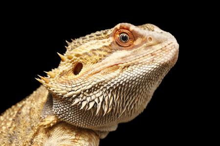 bearded dragon: A close up head shot of a bearded dragon