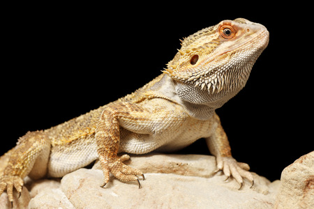 bearded dragon lizard: A Bearded Dragon with a black background Stock Photo