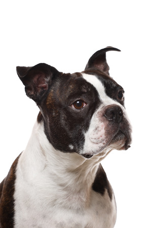 boston terrier: A closup of a Boston Terrier Stock Photo