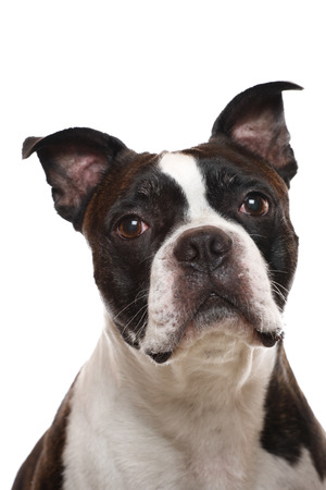 A closeup of a Boston Terrier