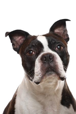 boston terrier: A closeup of a Boston Terrier