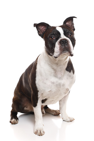 boston terrier: A vertical image of a Boston Terrier Stock Photo