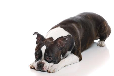 boston terrier: A Boston Terrier with his head down Stock Photo