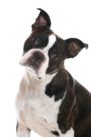 head tilted: A Boston Terrier with his head tilted