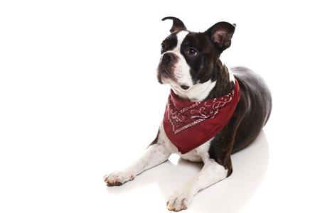 boston terrier: A Boston Terrier lying down
