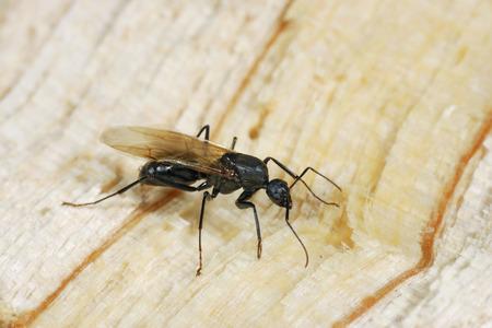 hormiga: Una alas hormigas carpinteras