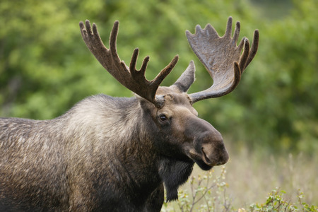 moose antlers: A bull moose in velvet. Stock Photo