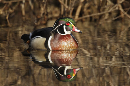 A front view of a drake wood duck sitting on water with a reflection. Reklamní fotografie