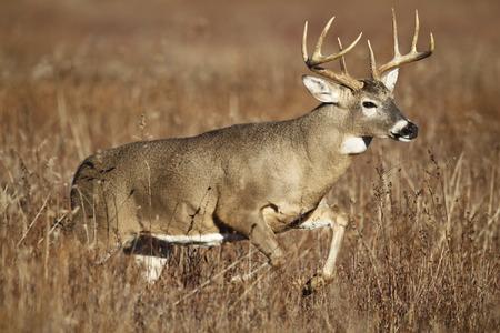 흰 꼬리 사슴은 키 큰 잔디를 통해 뛰어 벅.