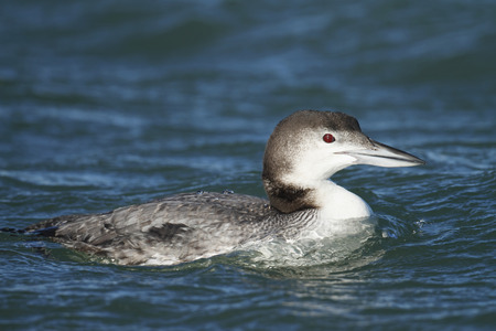 Common Loon in Winter plumage photo