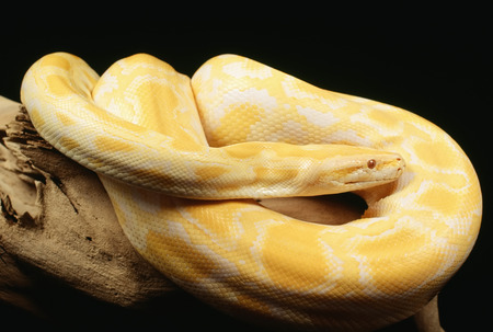 Albino Burmese Python Stock Photo