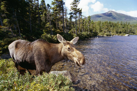 A cow moose on the edge of a pond.