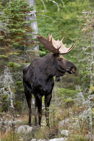 A portrait of a bull moose standing tall in the forest