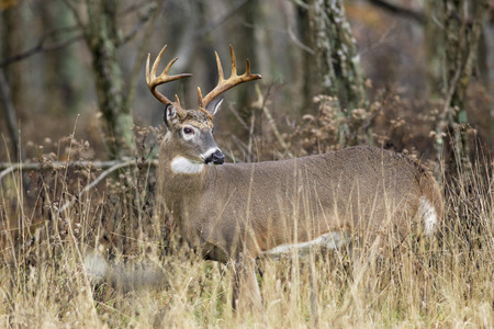 white tail deer: A white tailed deer buck in the forest. Stock Photo