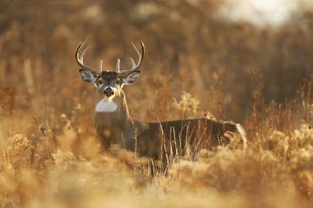 white tail deer: A whitetailed deer buck in golden light.