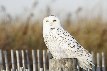 A snowy owl perched on a fence