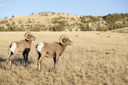 bighorn sheep: Due arieti pecore bighorn. Archivio Fotografico