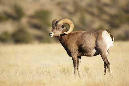 A bighorn sheep ram photographed in his envoronment.